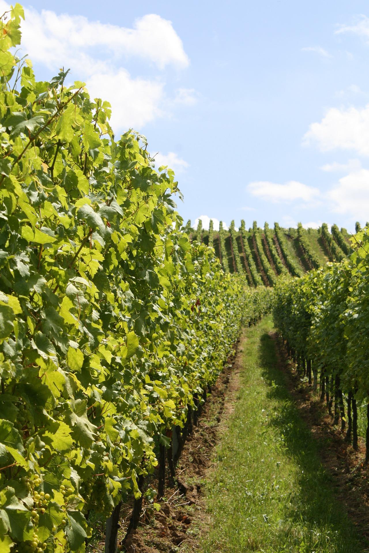 Weinanbau Kreta